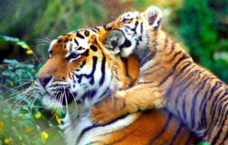 Тигры имеют не только полосатый мех, но и такую-же полосатую кожу.