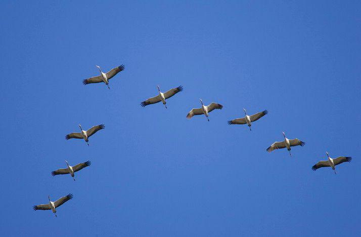 Почему птицы летят клином?